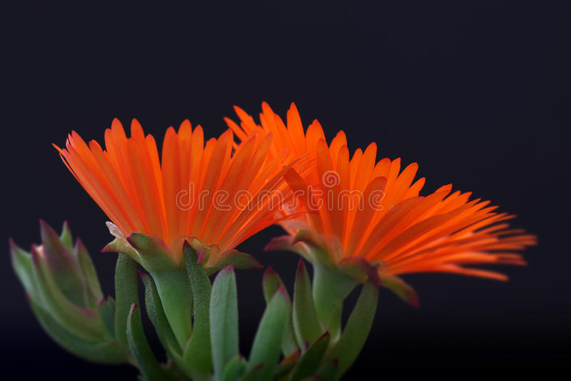 Orange Vygie flower bud stock image