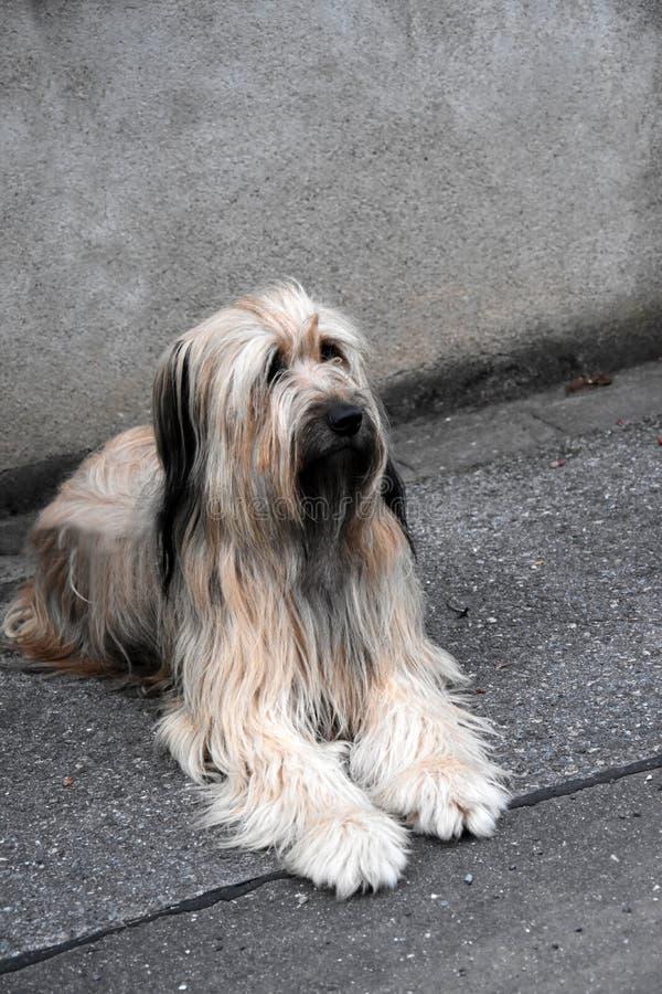 Wäller, een nieuw ras van honden stock fotografie