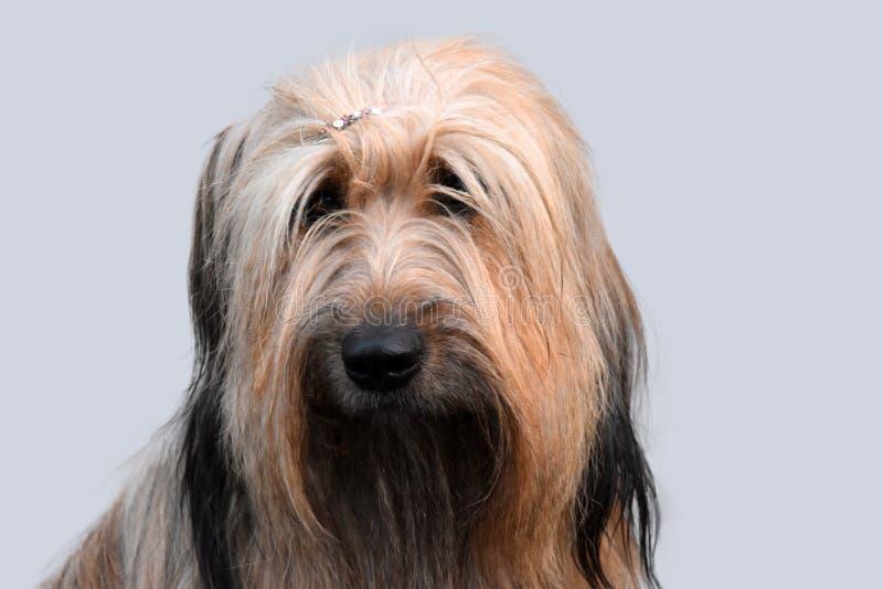 Wäller, een nieuw ras van honden stock afbeelding