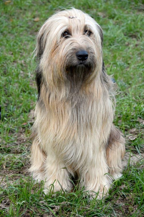 Wäller, een nieuw ras van honden stock afbeeldingen