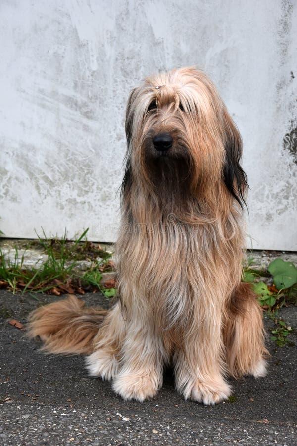 Wäller, nowy traken psy obrazy royalty free