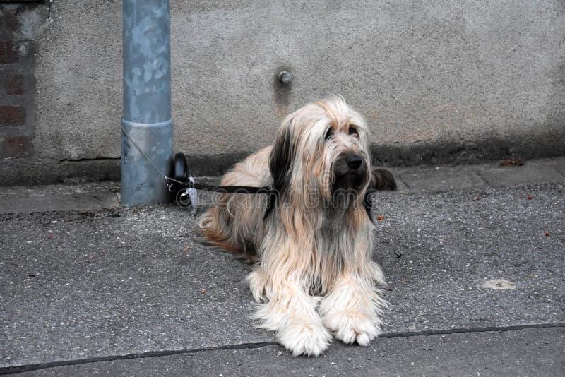 Wäller, nowy traken psy, wiążący latarnia, czekać na cześć zdjęcie royalty free