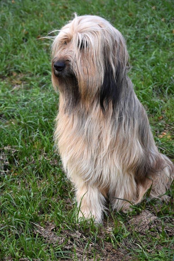 Wäller, uma raça nova dos cães fotografia de stock