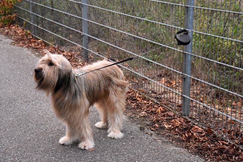 Wäller, uma raça nova dos cães, amarrada a uma cerca do jardim fotografia de stock royalty free