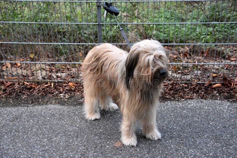 Wäller, uma raça nova dos cães, amarrada a uma cerca do jardim foto de stock