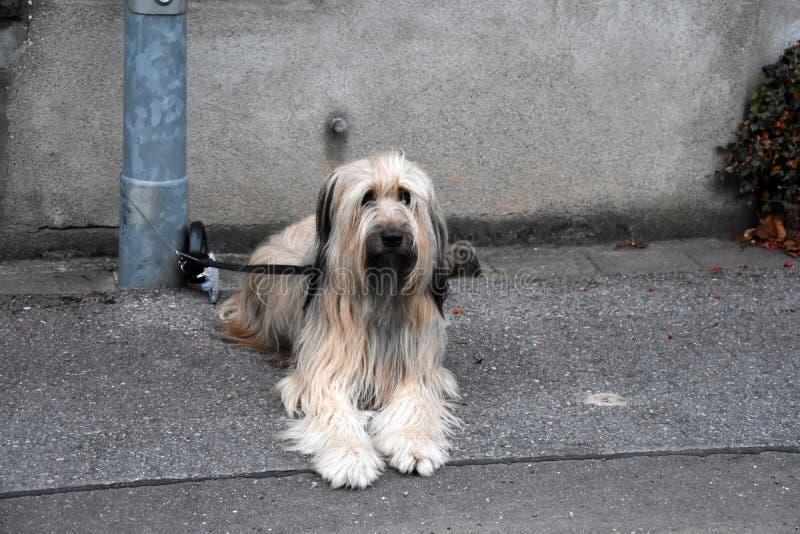 Wäller, uma raça nova dos cães, amarrada a um cargo da lâmpada, esperas para olá! fotografia de stock royalty free
