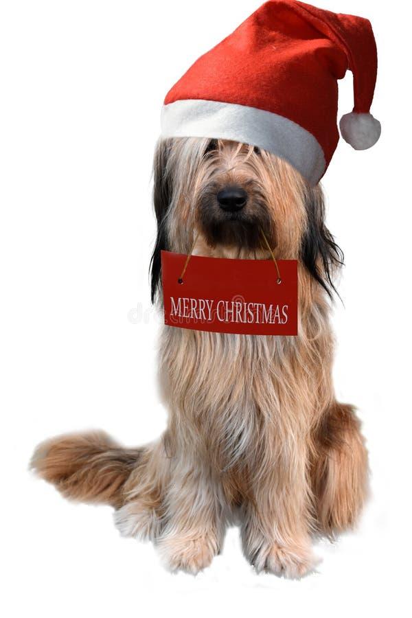 Wäller, uma raça nova dos cães, com chapéu de Santa foto de stock royalty free