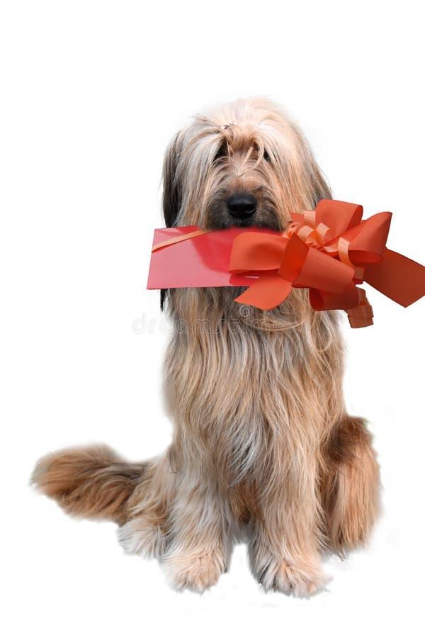 Wäller, une nouvelle race des chiens, avec le cadeau image libre de droits