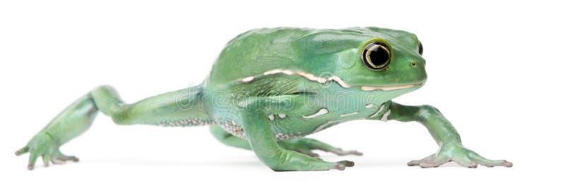 Wächserner Fallhammer-Blatt-Frosch, Phyllomedusa sauvagii lizenzfreies stockfoto