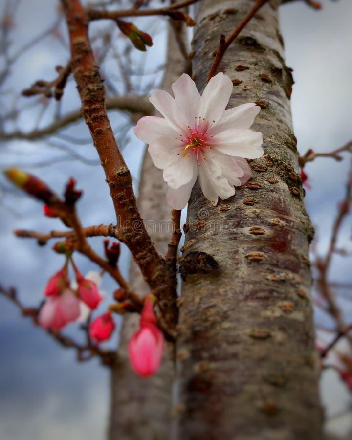Wählen Sie Fokuskirschblüte vor stockbilder