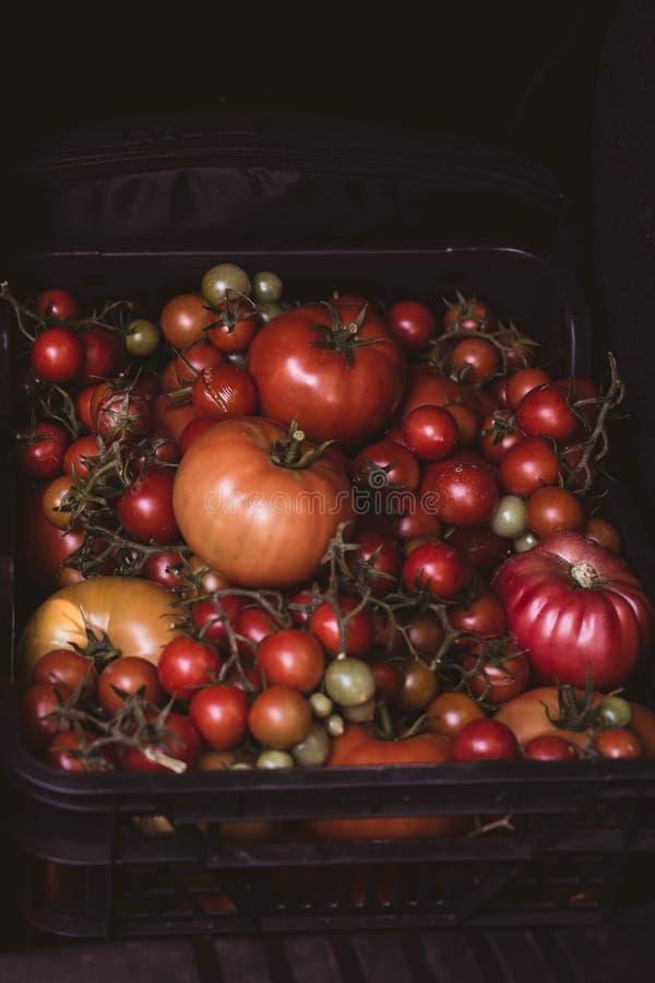 wählte frisch die Tomaten aus, die in einem Kasten angefüllt wurden stockfotografie