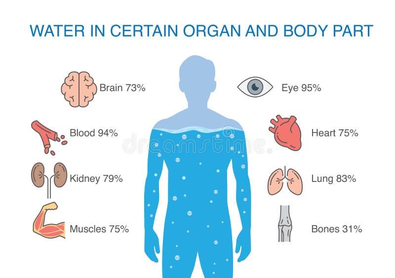 Wässern Sie in bestimmtem Organ und in Körperteil des Menschen stock abbildung