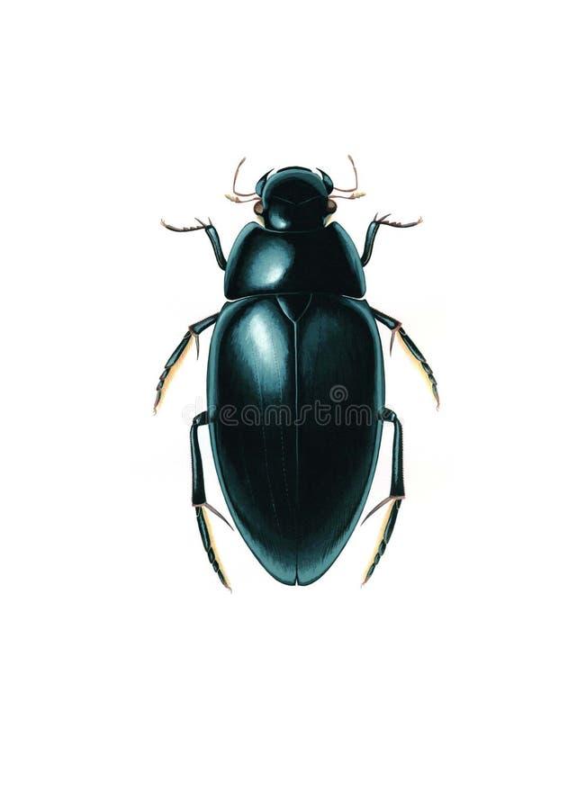 Wässern Sie den Reiniger-Käfer (Hydrophilus-aterrimus) lokalisiert auf weißem Hintergrund stockbilder