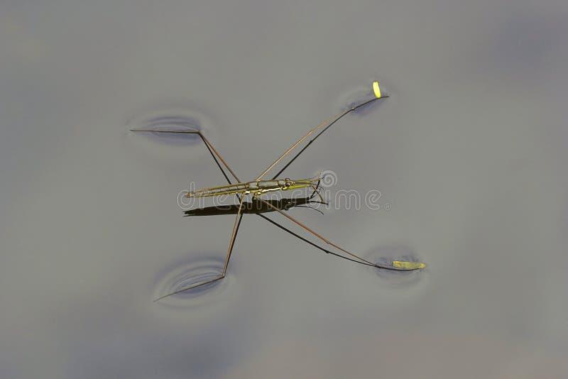 Wässern Sie Kapitän, Gerridae, Hemiptera, Sanjay Gandhi National Park, Mumbai lizenzfreies stockfoto