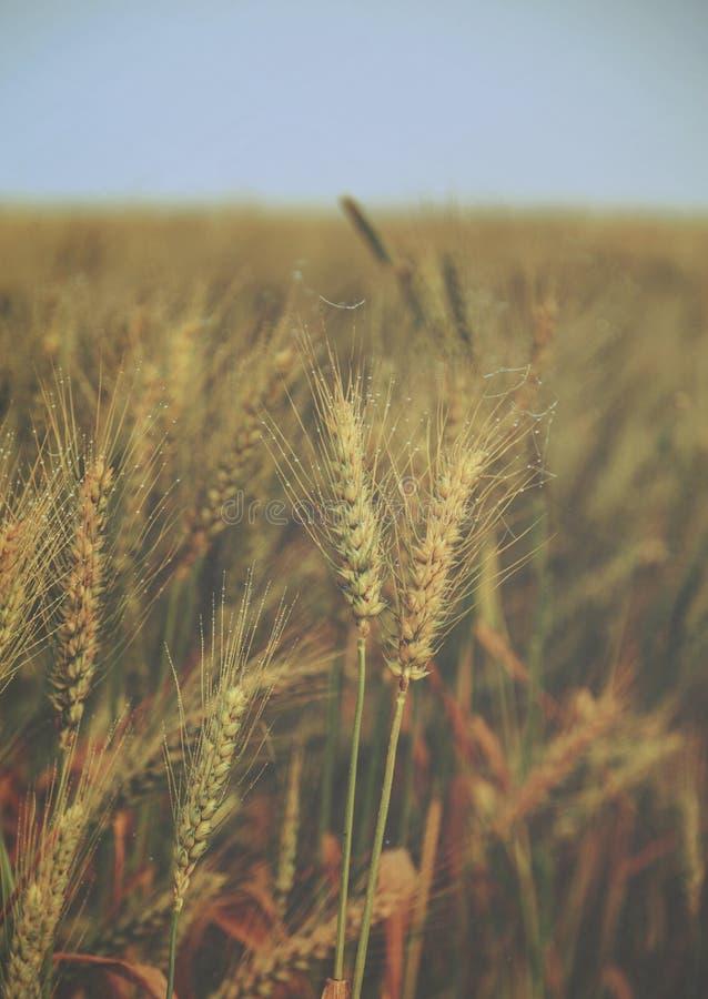 Wässern Sie Tropfen über Ohren des Weizens auf dem Feld - Weinlese lizenzfreie stockfotografie