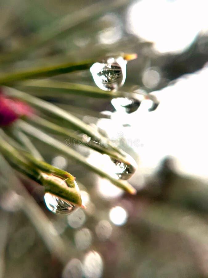 Wässern Sie Tropfen auf einer schönen Kiefer nach einem stürmischen Regen stockbilder