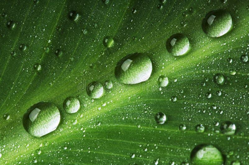 Wässern Sie Tropfen auf frischem grünem Blatt stockbilder