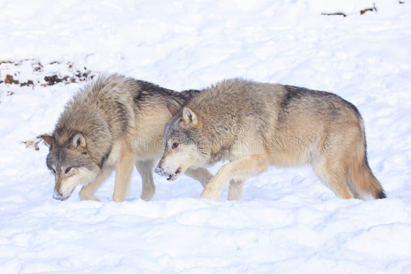 Wölfe auf dem Prowl lizenzfreies stockfoto
