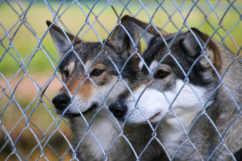 Wölfe an einem Zoo stockfoto