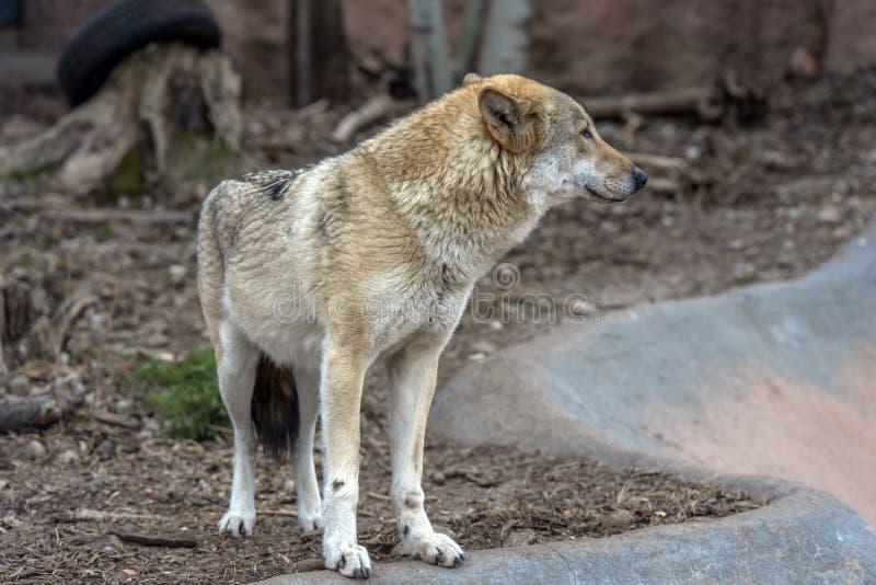 Wölfe im Zoo lizenzfreies stockbild