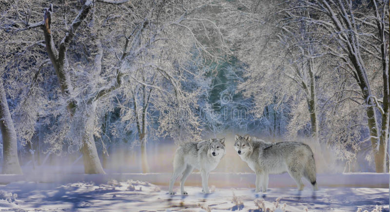 Wölfe von Yellowstone lizenzfreies stockbild