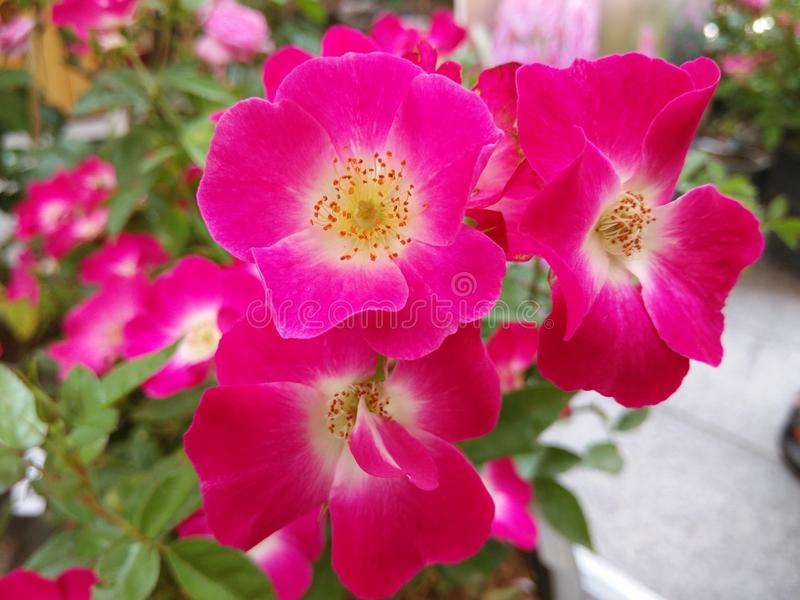 Würdevoll von der knallrosa Blume stockfoto
