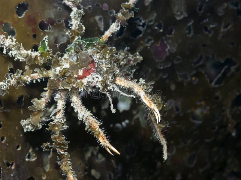 Würdevolle Dekorateur-Krabbe Oregonia zart lizenzfreies stockfoto