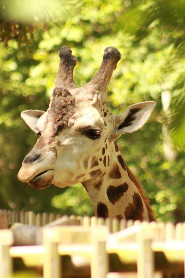 Würdevolle Giraffe stockbild