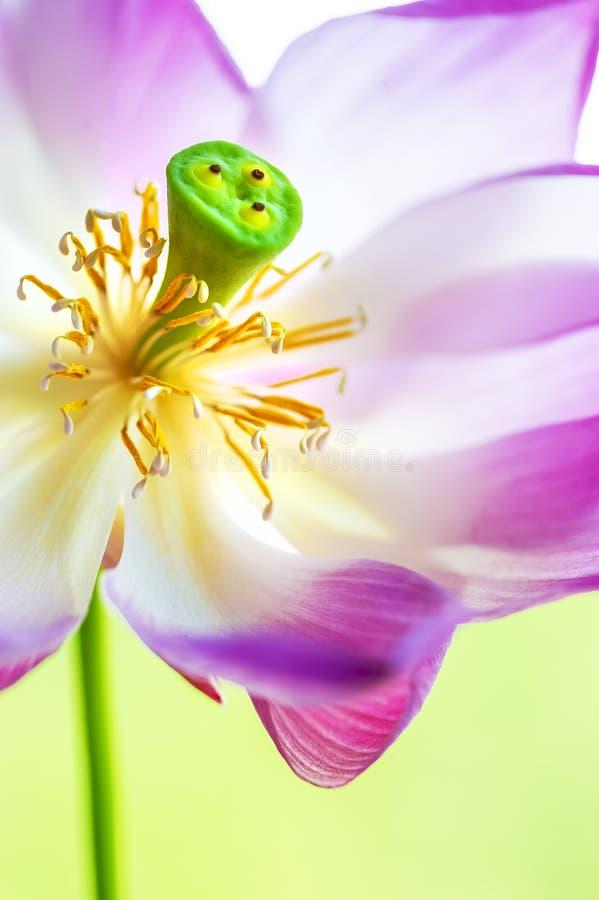 Würdevolles buntes purpurrotes weißes Tanzen lizenzfreie stockbilder