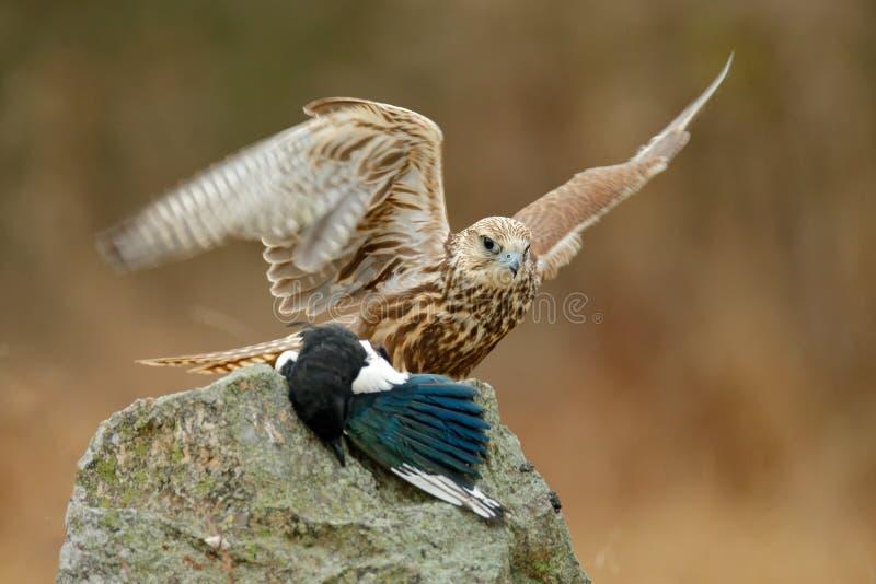 Würgfalke, Falco-cherrug, mit gefangener Elster auf dem Stein Raubvogel sitzend auf dem Felsen mit Lebensmittel, Tierverhalten Wi lizenzfreie stockbilder