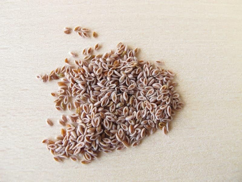 Wüste Indianwheat Startwerte für Zufallsgenerator, Plantaginis ovatae Samen lizenzfreie stockbilder