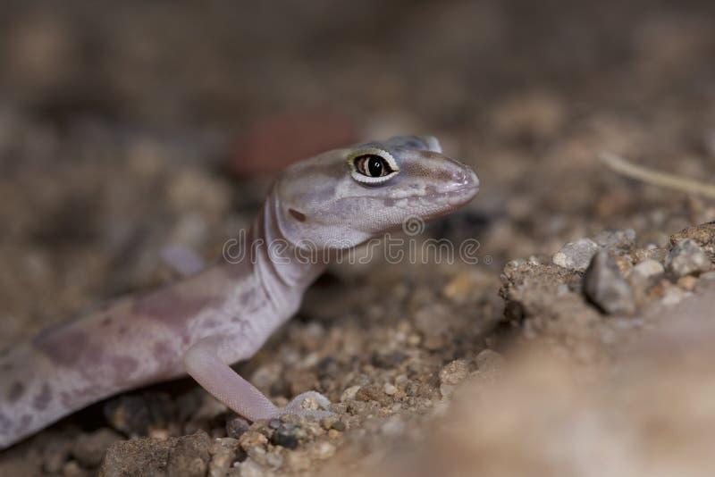 Wüste mit einem Band versehener Gecko stockfoto
