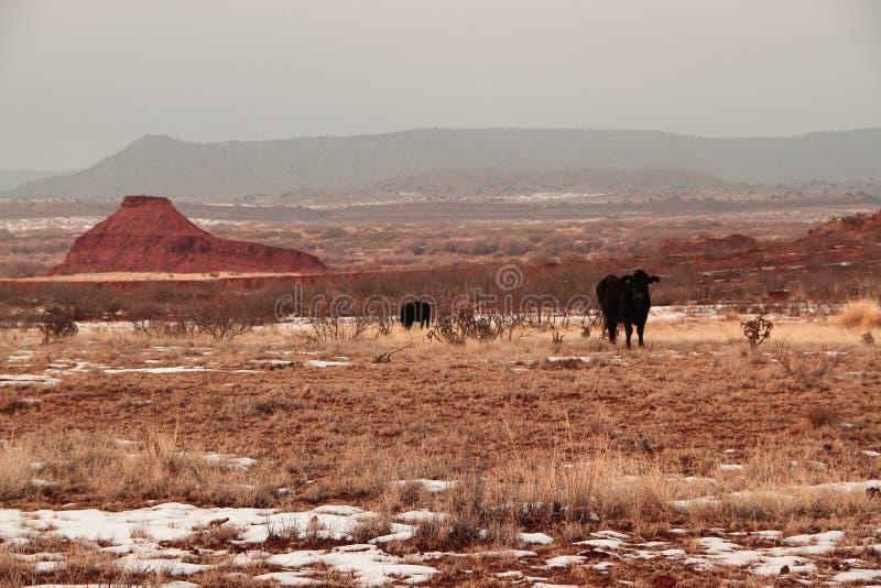 Wüste schwarzer Angus stockbilder