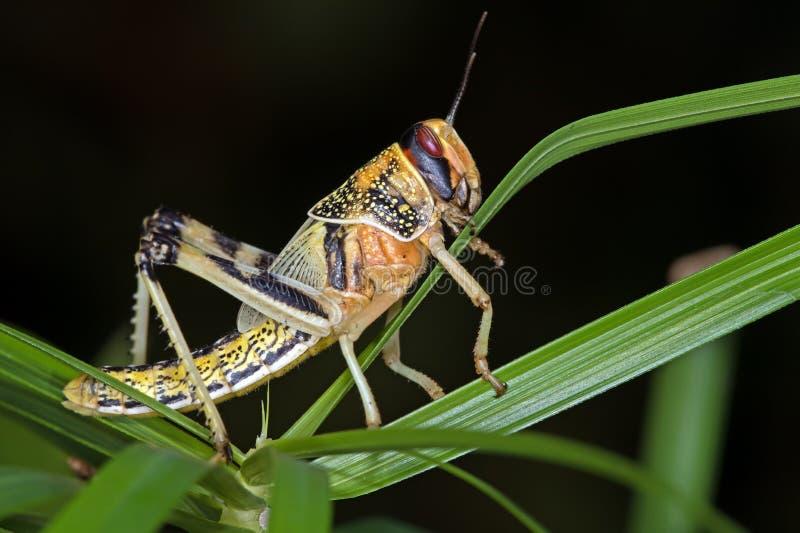 Wüsten-Heuschrecke (Schistocerca Gregaria) stockbilder