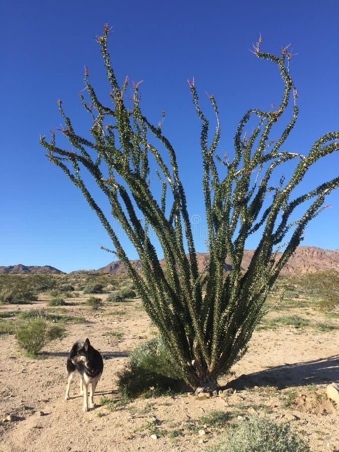 Wüsten-Hund stockbild