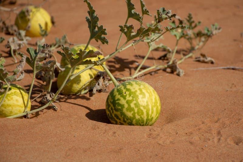 Wüsten-Kürbis Citrullus colocynthis Handhal stockfotografie