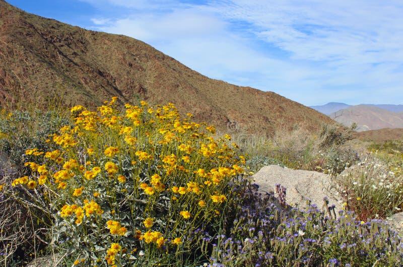 Wüsten-Nationalpark-Frühlingslandschaft Anza Borrego mit gelben Brittlebush-Blumen stockbild