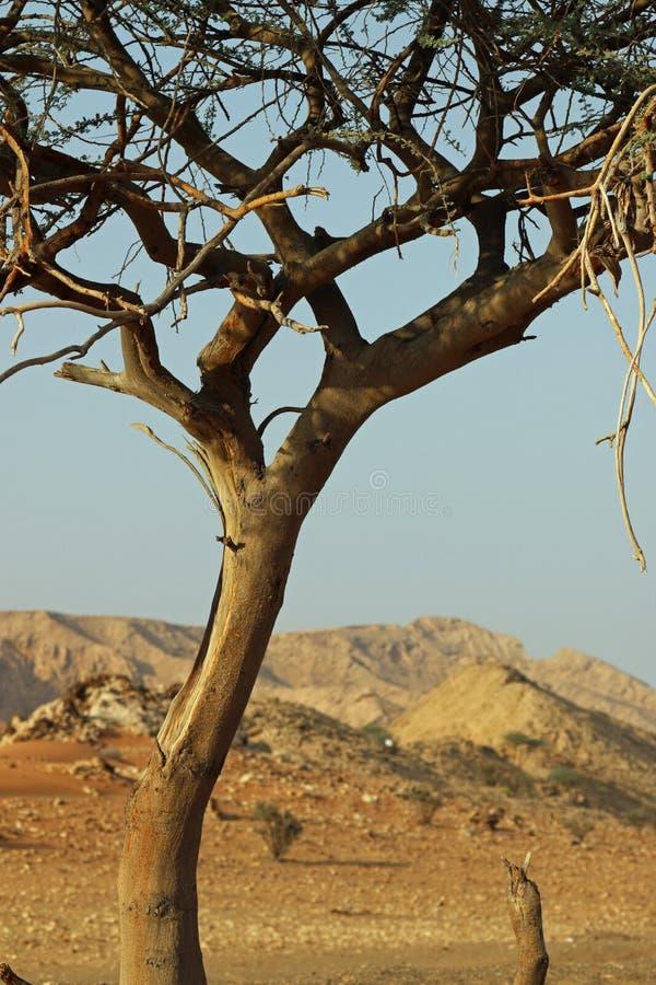 Wüstenbaum in Vereinigte Arabische Emirate lizenzfreie stockbilder