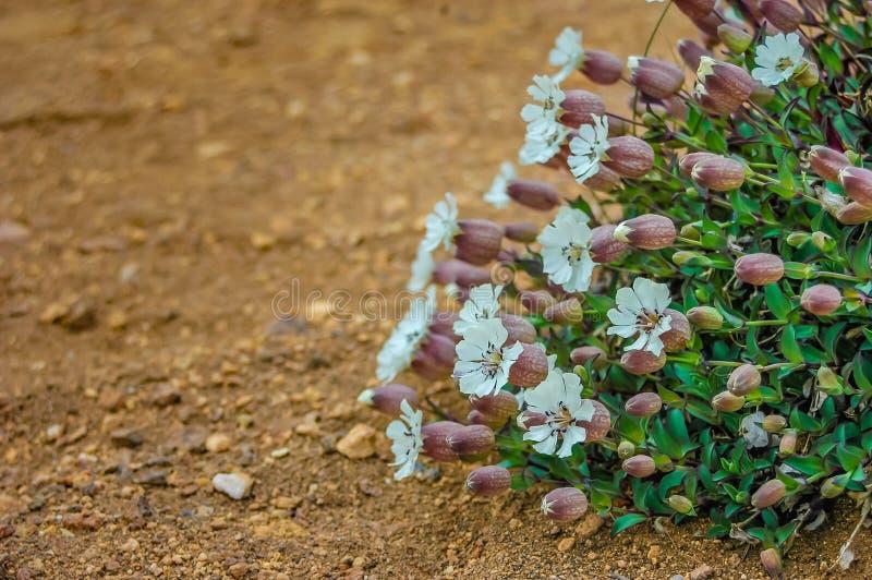 Wüstenblumen lizenzfreie stockbilder