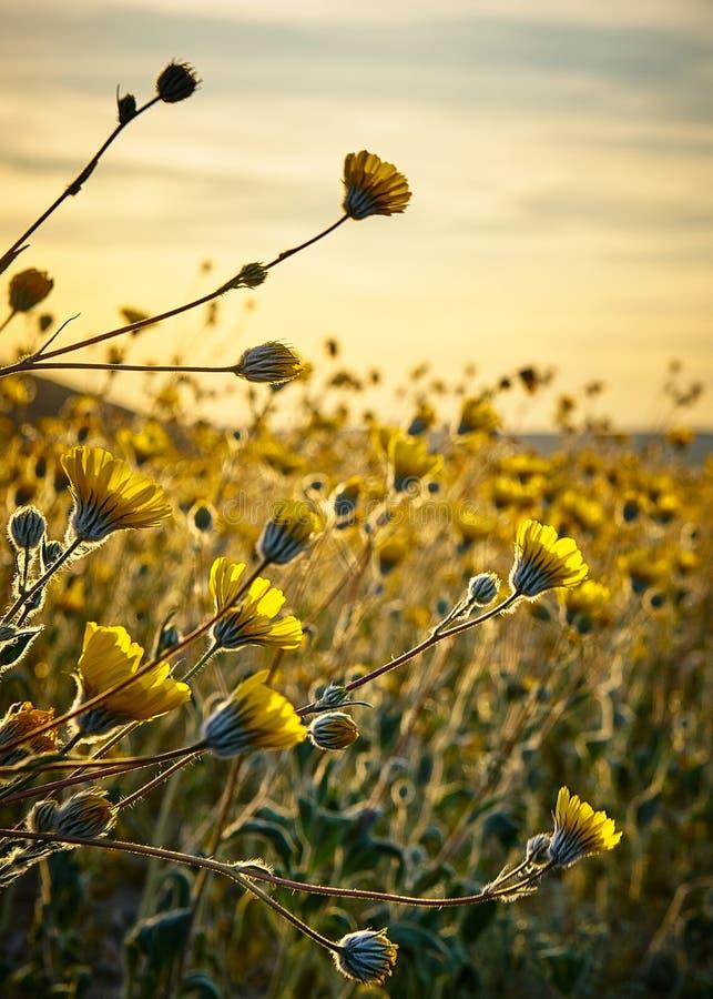 Wüstenblumen stockbilder