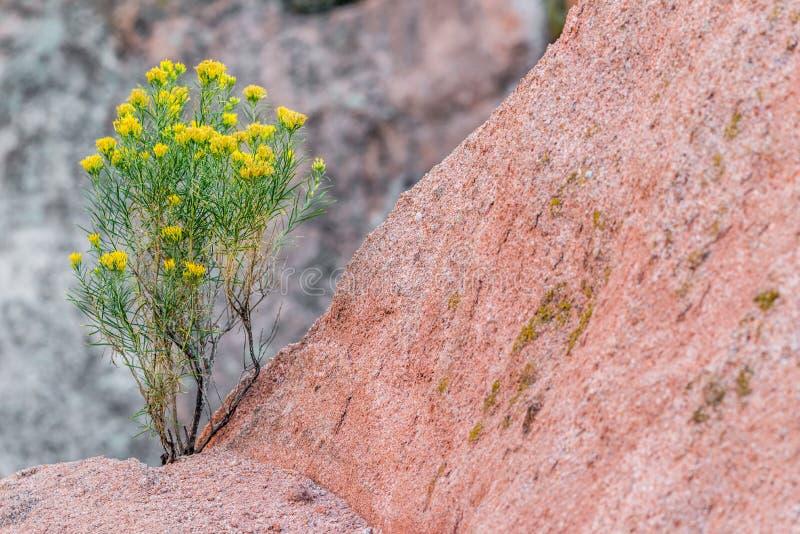 Wüstenblumenwachsen im Gebirgsfelsen stockfotografie