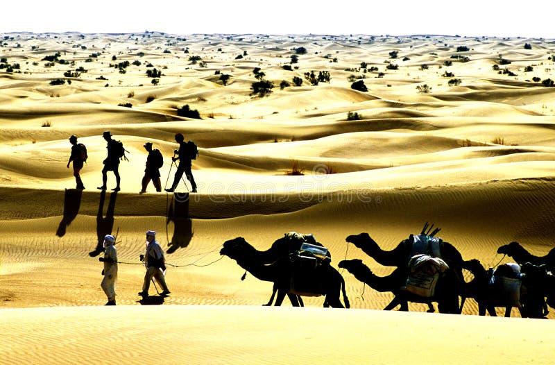 Wüstenkamel stockbild