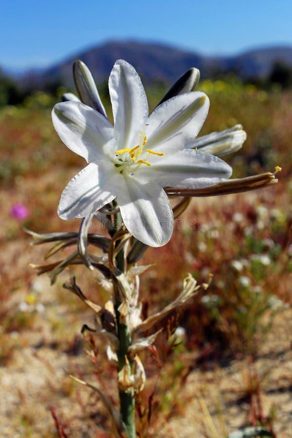 Wüstenlilie oder ajo Lilie, Wüsten-Nationalpark Anza Borrego, Kalifornien lizenzfreie stockfotos