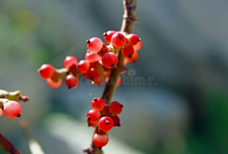 Wüstenmistelzweigfrucht, Wüsten-Nationalpark Anza Borrego lizenzfreies stockfoto