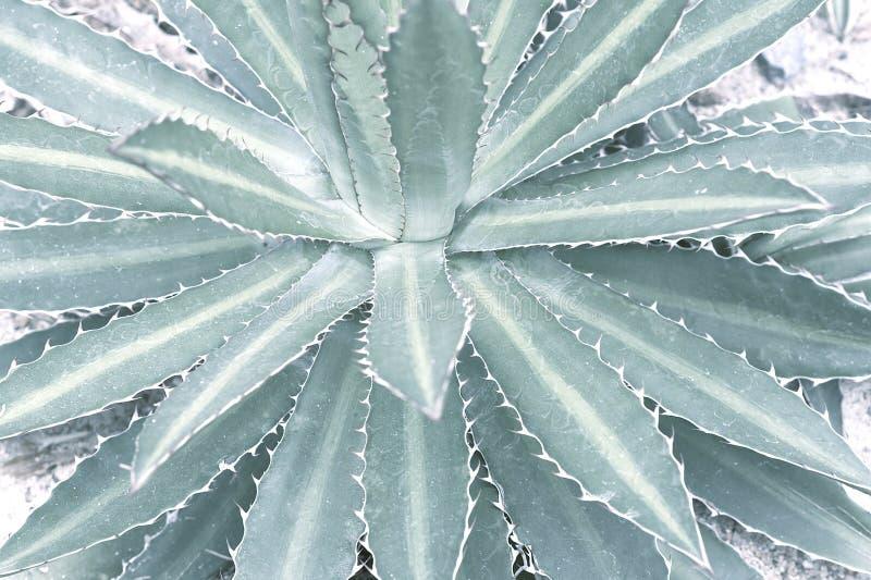 Wüstenpflanze in den blassen en-grün Schatten lizenzfreie stockfotos