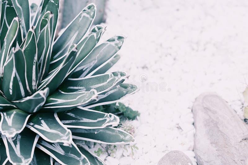 Wüstenpflanze im Garten in den blassen Schatten schließen Sie herauf Fotografie lizenzfreie stockbilder