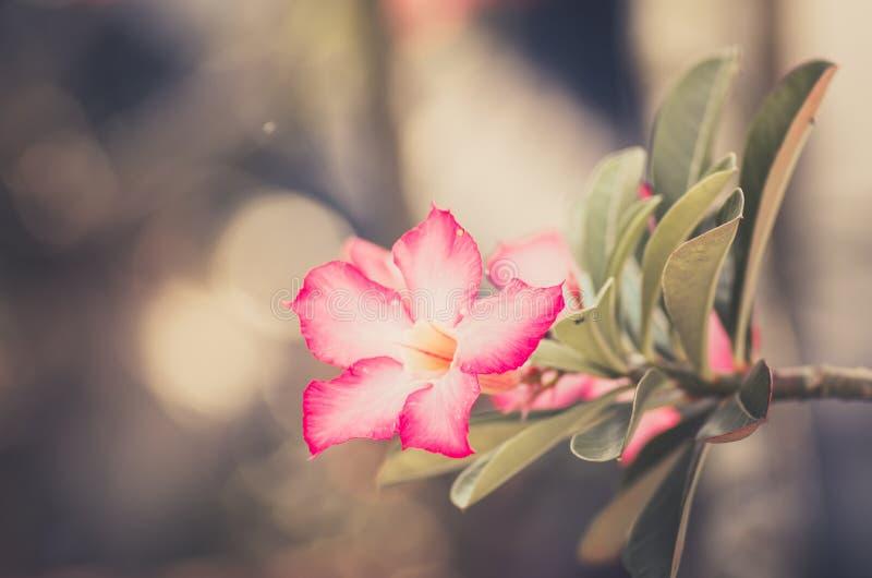 Wüstenrose-oder Impala-Lilien- oder Spott-Azaleenblumenweinlese lizenzfreie stockbilder