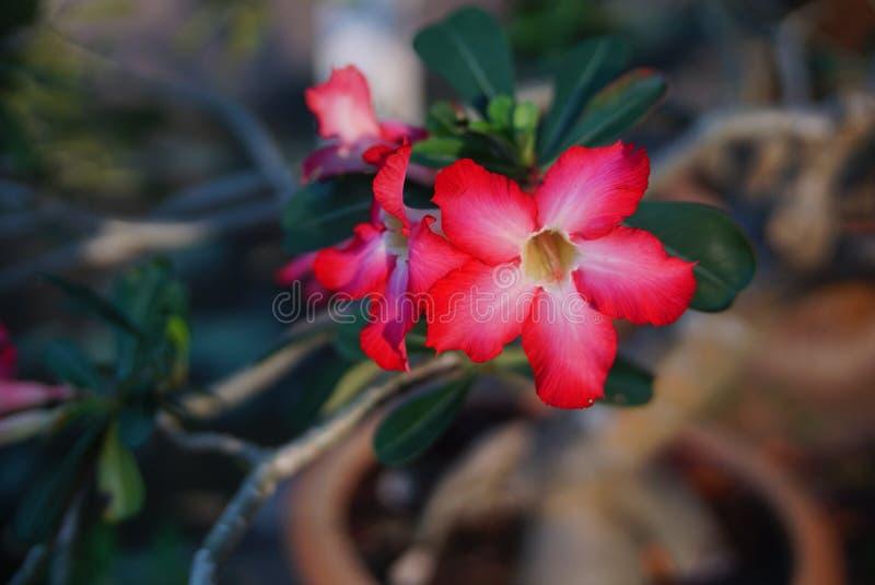 Wüstenrose, Rosarose Adenium stockbilder