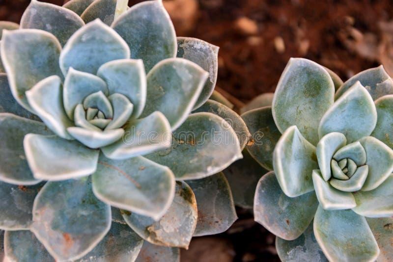 Wüstenrose-Rosette Succulent stockfoto