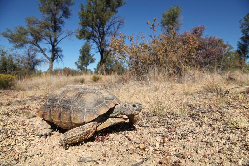 Wüstenschildkröte lizenzfreie stockfotos